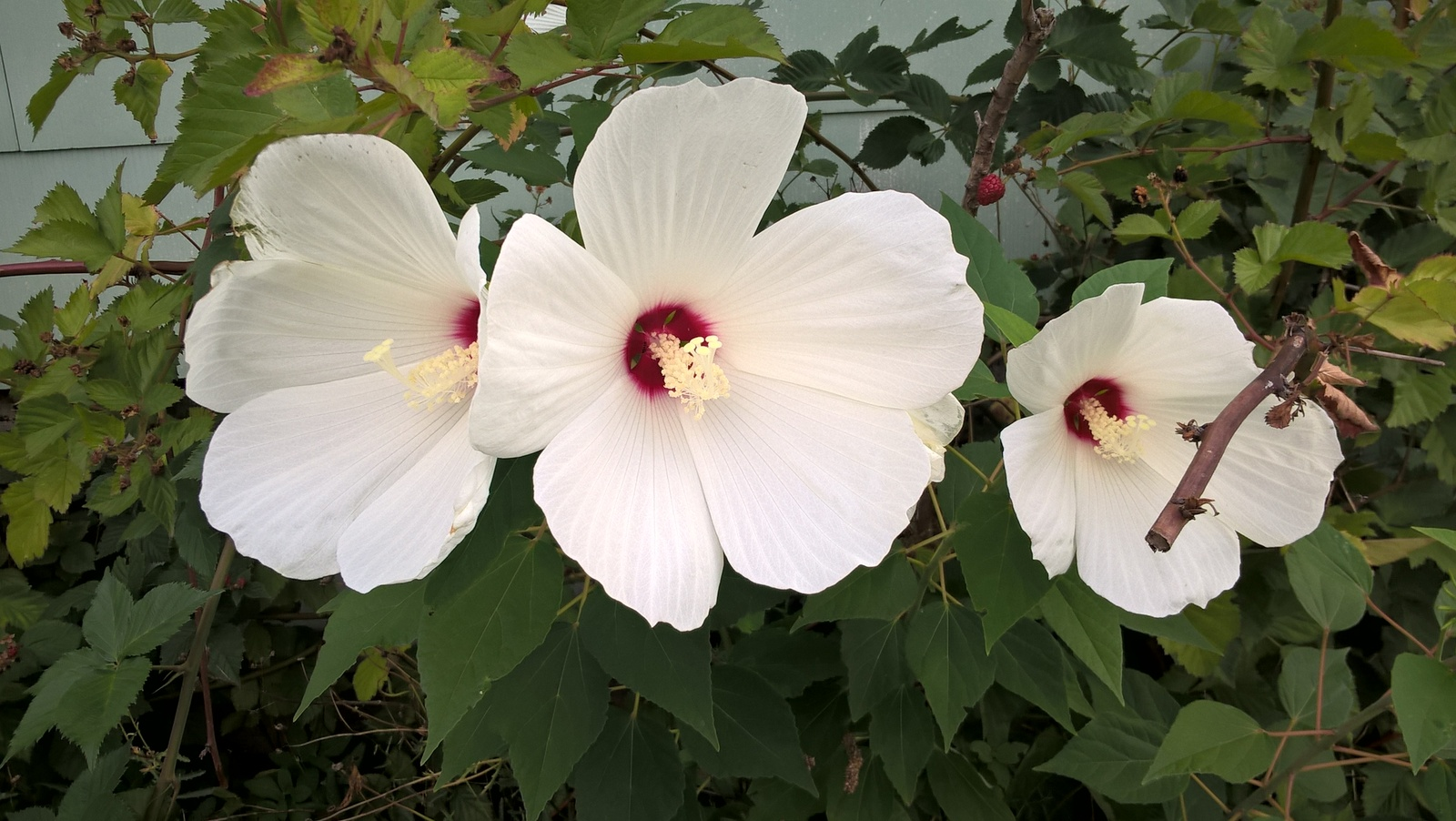 10 hardy giant hibiscus moscheutos white variety 8. Black Bedroom Furniture Sets. Home Design Ideas