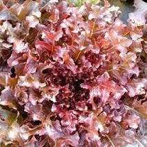 4 Variety Seds - Red Salad Bowl Lettuce Vegetable Seeds #IMA41 - $13.99+