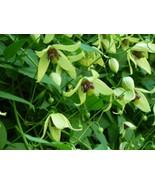 Clematis Sunstar seeds - $2.80