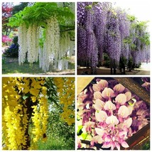 50 Seeds 4 colours of Wisteria Flower,Purple yellow white pink Wisteria ... - $4.89