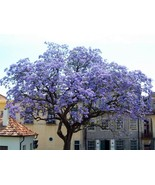 50 Worlds Fastest Growing Tree Paulownia Seeds, Princess Tree / Royal Empress - $4.20