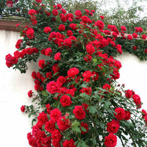 50 Pcs Red Rose Tree Seeds, Gorgeous bright-colored, DIY Garden Potted F... - $5.76