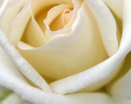 50pcs Rose Milky White Rose Flower Seeds strong fragrant - $13.96