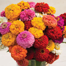 Oklahoma Formula Mix Improved Zinnia Seed Flower Seeds Annual Flower Seeds - $8.99