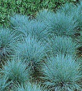 100 ornamental grass seeds blue fescue beautiful blue for Small blue ornamental grass