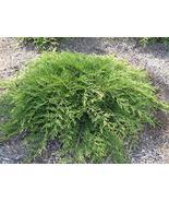 Juniper Monna Sierra Spreader - Live Plant in a 6 Inch Pot - Juniperus S... - $31.65