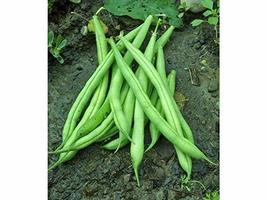 """""""COOL BEANS n SPROUTS"""" Brand, Provider Bush Bean Seeds. 16 Ounce A Garde... - $14.84"""