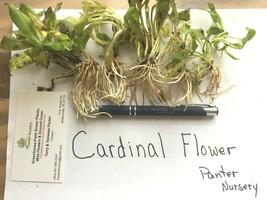 Red Cardinal Flower 5 roots, Lobelia Cardinalis image 1