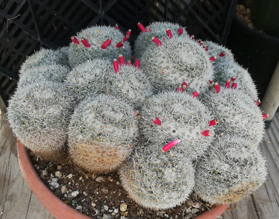 Mammillaria parkinsonii Large Mound of Splitting Heads Cactus 40