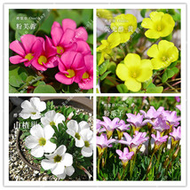 100 Pcs Oxalis Flower Bulbs Oxalis Versicolor Flowers Seeds Flowers Gard... - $4.76