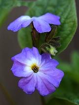 100 Seeds Browalia Americana For Home Garden - $11.89