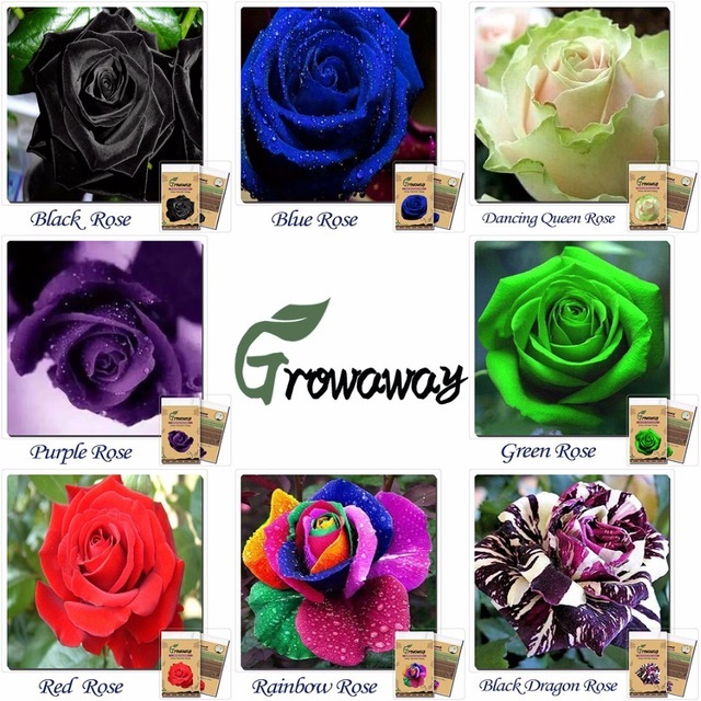 1000 Rare Multi Colors Rainbow Rose Seeds (50 x 20 kinds of different Colors)