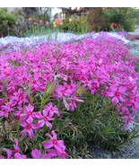 USA pink creeping phlox 25 to 200 seeds (butterfly garden) (ground cover) - $6.99 - $24.00