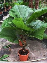 Palm tree 20 seeds, Palm tree Fan Licuala Grandis - $19.99