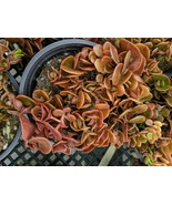 "Sedum chinese  ""coral reef"" in 4"" pot rare multi shades of orange ground... - $7.91"