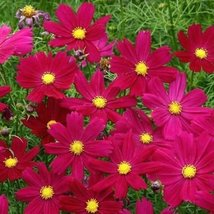 Non GMO Bulk Cosmos Seeds - Dwarf Dazzler Red. Cosmos bipinnatus (1 lb) - $64.30