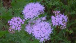 Organic Native Plant, Blue Mistflower, (Conoclinium coelstinum) Butterflies - $3.75