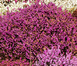 CALLUNA SCOTCH HEATHER Calluna Vulgaris - 200 Bulk Seeds - $30.53