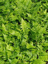 Florida Shield Fern 25 Plants in 3-1/2 inch Pots FREE SHIPPING - $147.25