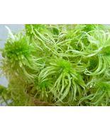 Quart Live Sphagnum Moss Vivarium Orchid Carnivorous Plant Fly Traps - $32.00