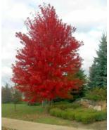 10 Pcs Seeds Autumn Blaze Hybrid Red Maple Acer X Freemanii Tree - DL - $16.00
