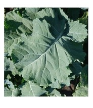 200 seeds PREMIER Kale Compact Vigorous Leaves up 2 1' long! Cold hardy ... - $1.36