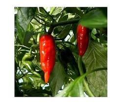 15 samen Aji Verde heiss chili hell farbig schoten Peru Erbstück SELTEN rot - $2.84