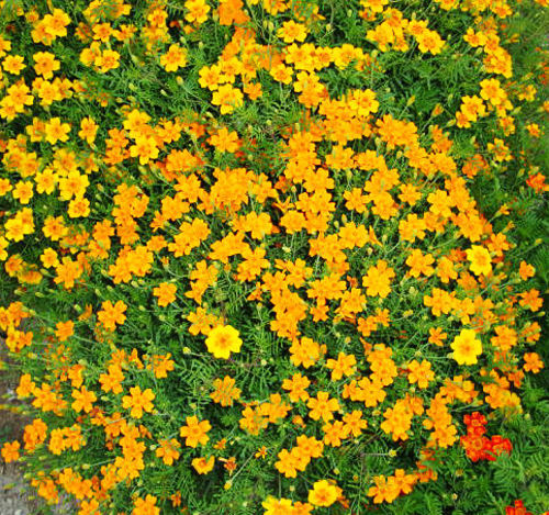 Primary image for 50 French Marigold Seeds Tagetes Patula Ornamental Garden Flowers