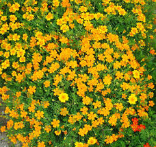 50 French Marigold Seeds Tagetes Patula Ornamental Garden Flowers  - $19.99