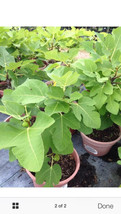 1 Celeste Fig 12 To 15 nches Tall - Ready To Bear Fruit - u26 - $25.01