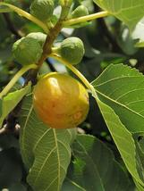 Ficus carica Yellow Long Neck Common Fig Live Plant Fruit FREE SHIP - $41.00
