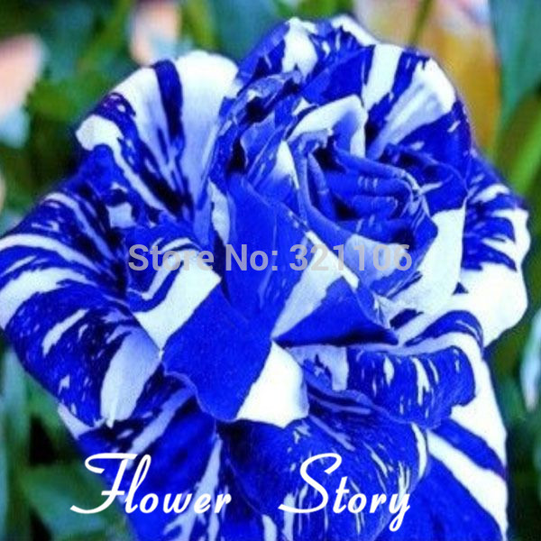 Blue Dragon Rose Seeds Rare And Beautiful Striped Rose 150 pieces for sale  USA