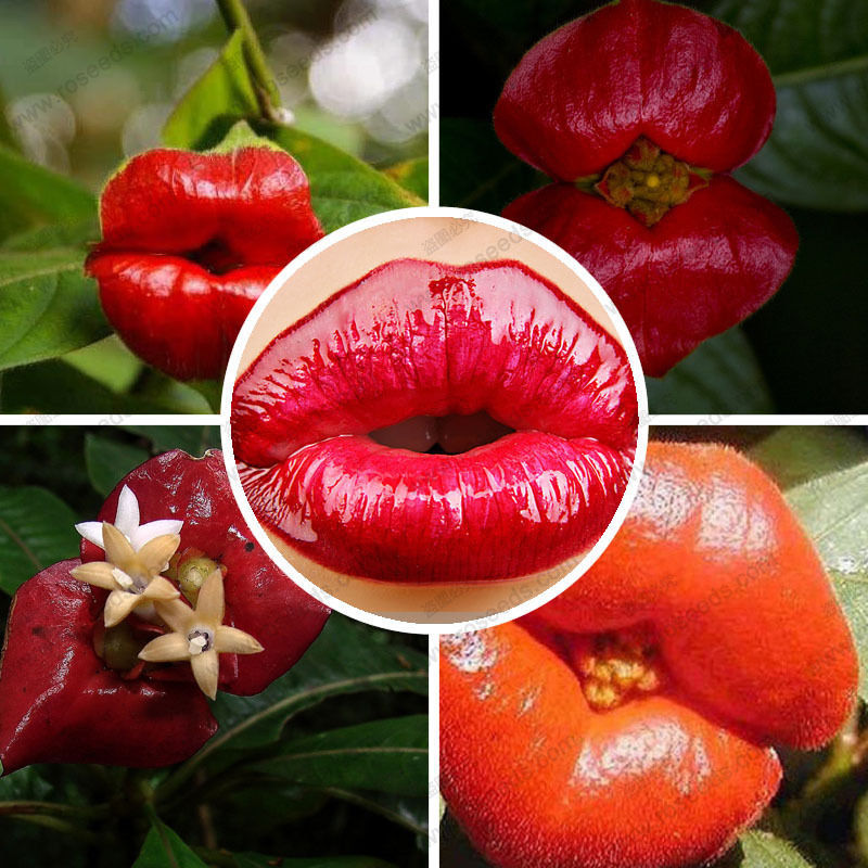 100 planters Psychotria Elata Flower of Lips seeds like sexy lips Bonsai plants