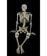 Life Size BUCKY SKELETON Anatomy Skull Bones Prop Building Halloween Dec... - $178.17