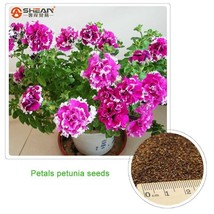 300 White Edge Purple Petunia Seeds,Flower Peta... - $1.87