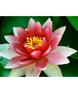 10 Seeds Double Colors Lotus Seeds China Rare F... - $0.99