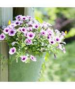 petunia seeds purple petunia hybrida garden home bonsai balcony flower morning glory2 thumbtall