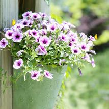 300 pieces Petunia seeds Purple Petunia Hybrida Balcony Flower Morning G... - $3.95