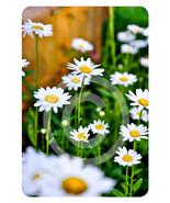 'Daisies' -  5x7 Mounted Fine Art Print  - $12.99
