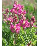 Sainfoin Shoshone Holy Clover Cover Green Manure Bee Forage Seeds BULK 3... - $60.15