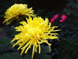 Yellow Spider Chrysanthemum Balcony Flower Seeds 100 Seeds / Pack - $5.75