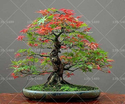 20pcs / bag true maple seeds indoor potted seeds. Family Garden Planting Bonsai - $2.77