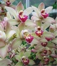 BEST PRICE 200 Seeds cymbidium flower,FS DIY Flower Seeds - $6.97