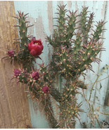 Cylindropuntia versicolor Deep Red Flowers Cholla Cactus 1 Section - $9.89