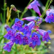 SHIP FROM US 200 Rocky Mountain Penstemon Flower Seeds (Strictus), UTS04 - $11.98