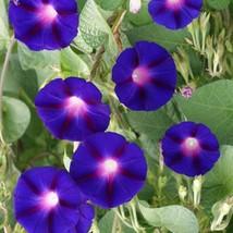 50 HEIRLOOM Morning Glory Grandpa Ott  Seeds - $2.89