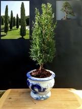 Cupressus Sempervirens Totem Pre-bonsai - A special tree - $67.10