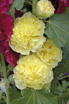 30 Yellow Alcea Double Golden Hollyhock Seeds - $8.25