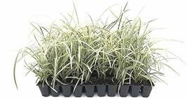 Aztec Grass - 40 Live Plants - Variegated Liriope - Ophiopogon Intermedius Argen - $116.98