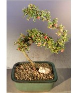 Flowering & Fruiting Evergreen Cotoneaster Bonsai Tree Curved Trunk Style - $54.99+